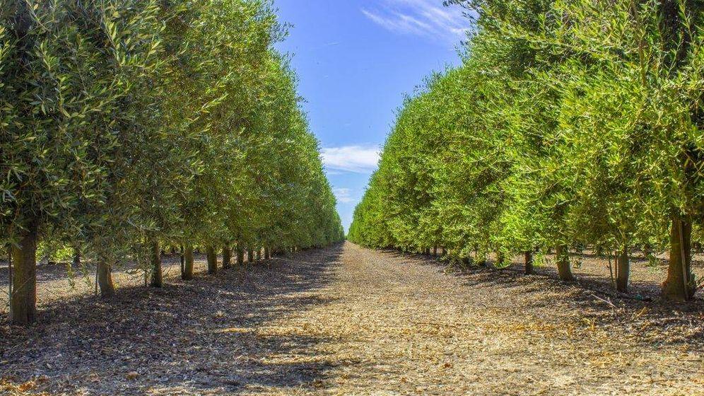 Foto: Olivares plantados en superintensivo (seto) en California para producir aceite. (TCC Properties)