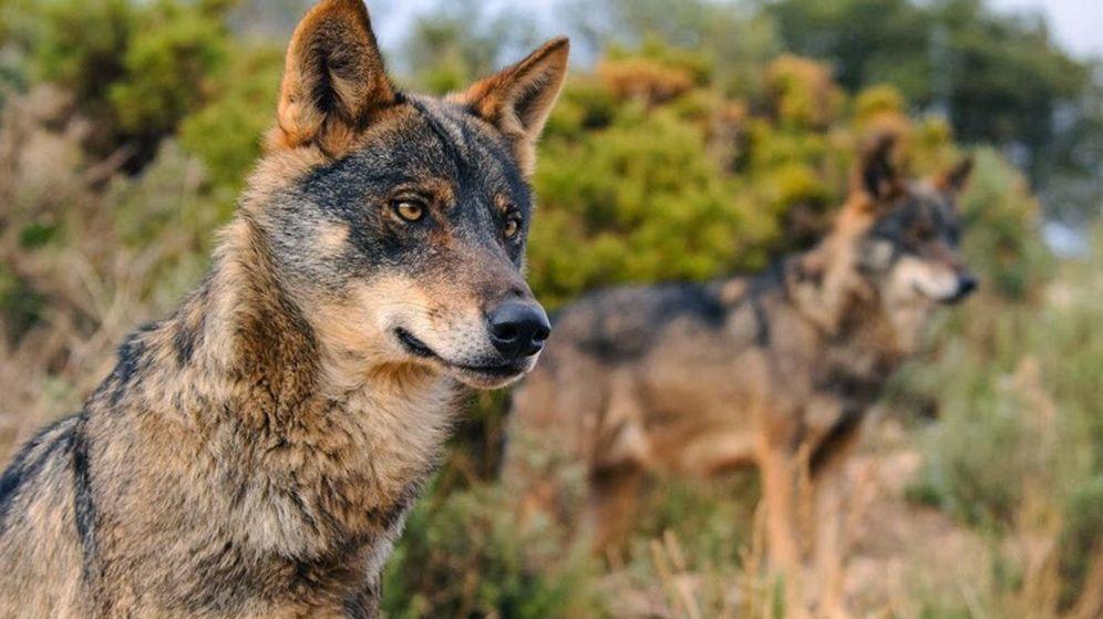 Foto: Lobos ibéricos en libertad. (EFE)