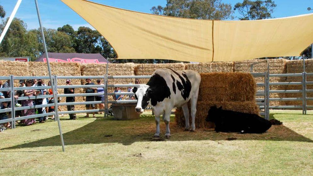 Foto: Knickers fue la gran atracción de la feria de ganadería de Brunswick, en el oeste de Australia (Foto: Facebook)