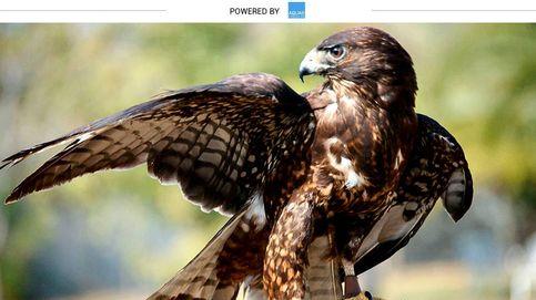 El águila calzada prefiere vivir en España