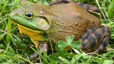 La 'rana toro' amenaza el Ebro: por qué es una de las especies más nocivas del mundo