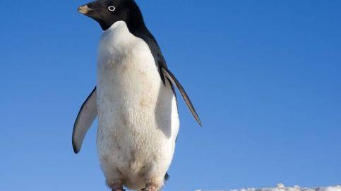 Los pingüinos antárticos están comiendo microplásticos