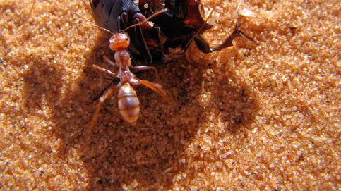 Las hormigas de plata saharianas son las hormigas más rápidas del mundo