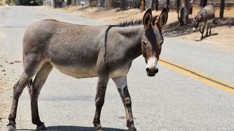Carreras de burros en Cantabria, ¿maltrato animal?