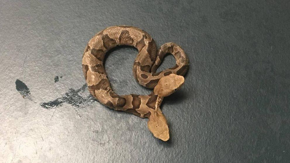 Aparece en Estados Unidos una rara serpiente venenosa de dos cabezas