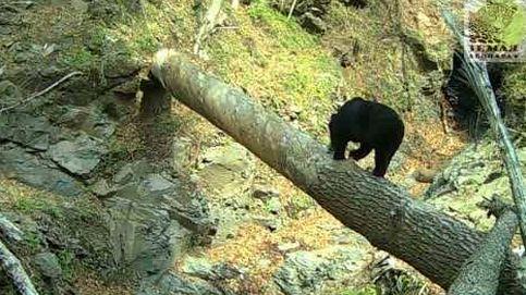 Un oso, el mejor director de cine del bosque