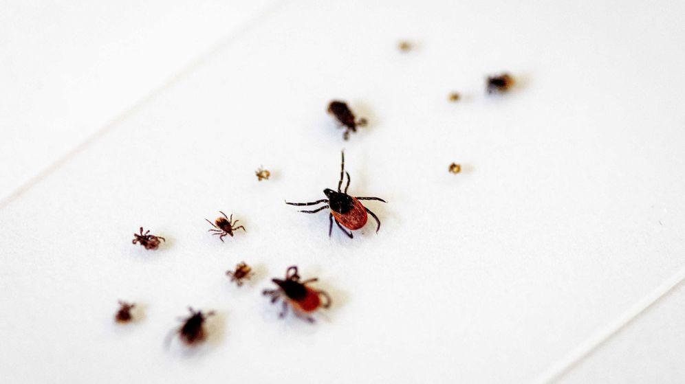 Foto: Garrapatas similares a las que transmiten la fiebre hemorrágica de Crimea-Congo. (EFE)