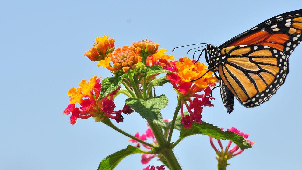 Las mariposas inspiran una goma que cambia de color