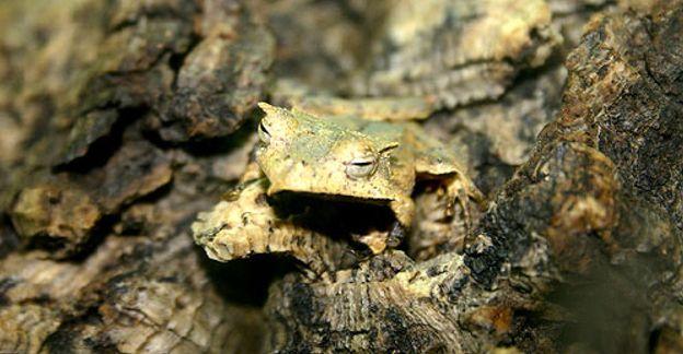 Foto: El declive de los anfibios: un hongo letal los está aniquilando