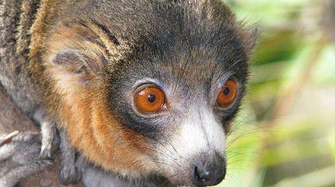 ¿Por qué los humanos somos monógamos? La respuesta podría estar en los lémures