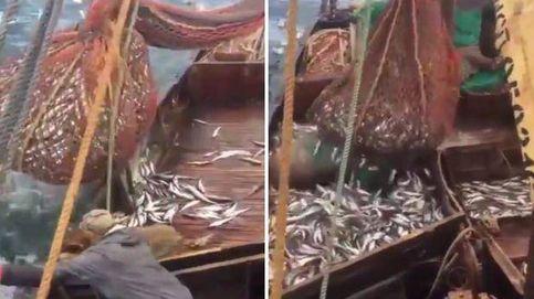 Capturan un león marino en las redes de pesca de un barco ruso