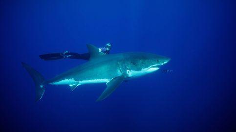El gran tiburón blanco está emigrando hacia otras aguas