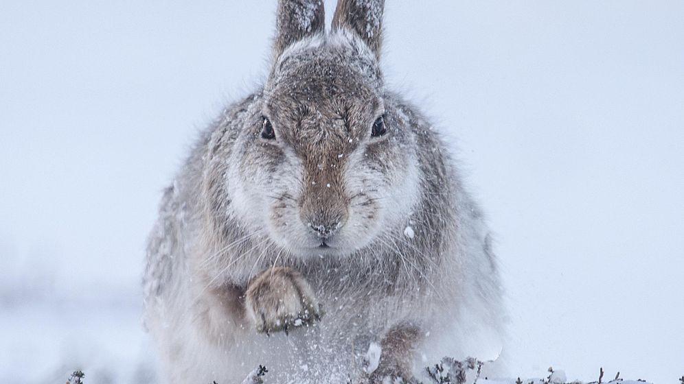 Foto: Las bajas temperaturas pueden ser las causantes de este comportamiento en las liebres (Rosamund Macfarlane)