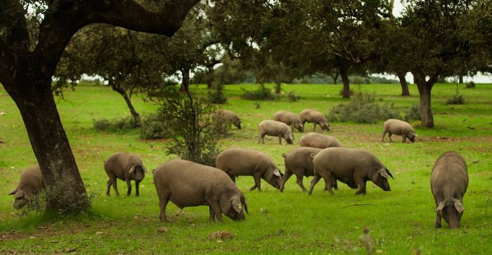 Foto: El cerdo ibérico de bellota, el tesoro de las dehesas. (AGEDREX)
