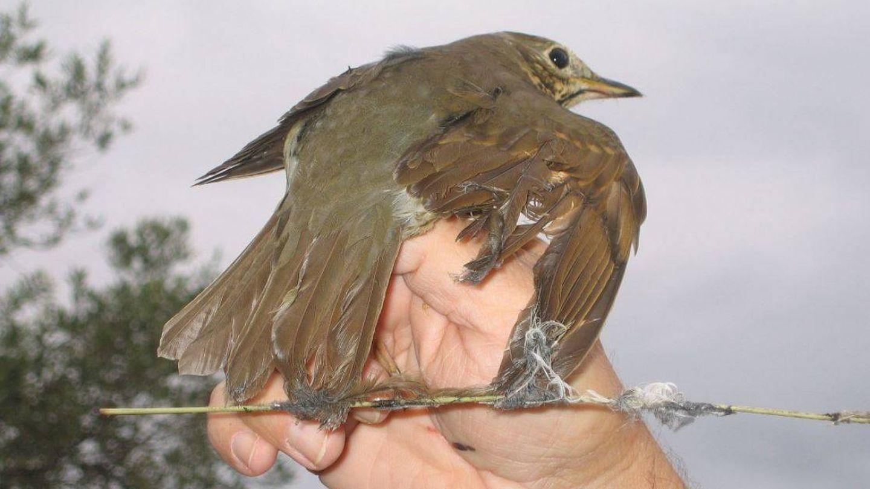 Zorzal capturado con liga. (SEO/Birdlife)