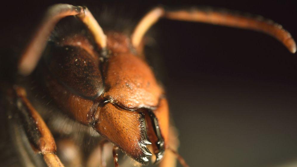Foto: Primer plano de una avispa velutina o asiática | EFE
