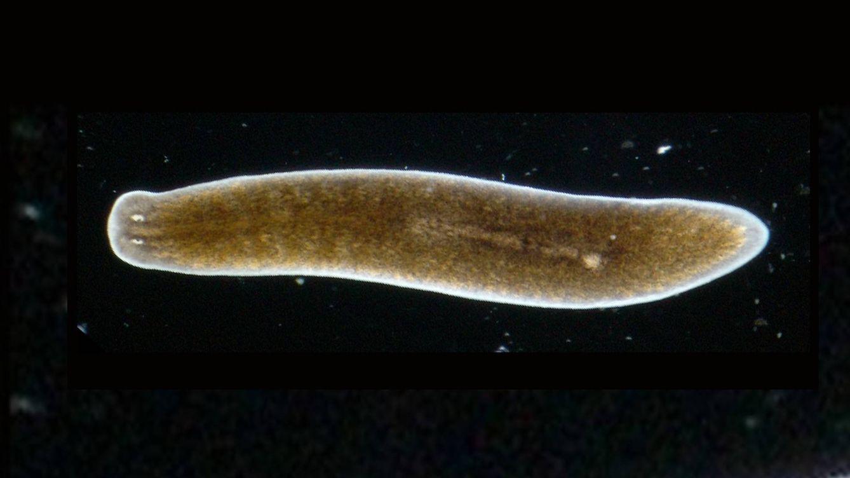 La planaria, el gusano inmortal: regenera los órganos que pierde y no envejece