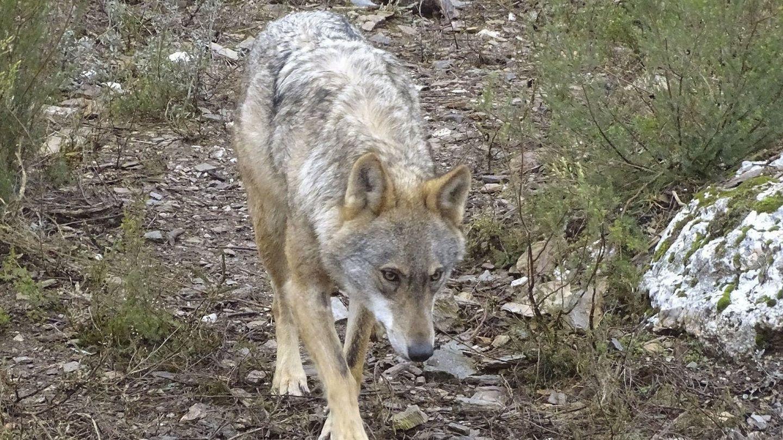 Imagen de archivo de un lobo ibérico. (EFE)