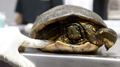 Cinco vuelos cancelados por una tortuga: apareció de la nada en la pista de aterrizaje