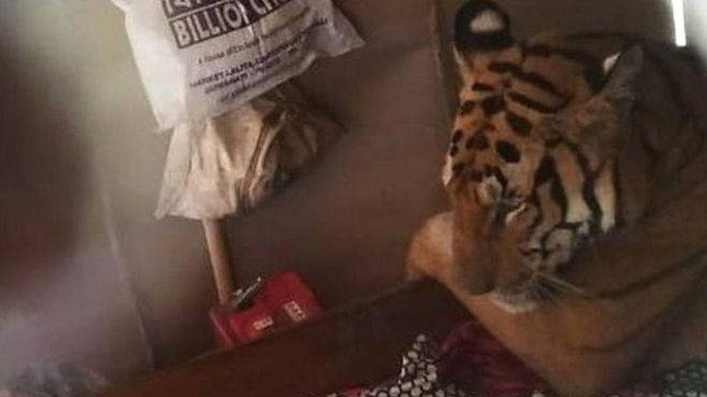 Una tigresa rodeada por las inundaciones de India se mete en una casa a descansar