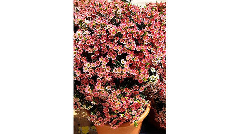 Flor de cera en maceta de 15 cm