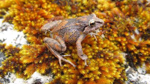 Tres nuevas especies de ranas en los Andes del Perú