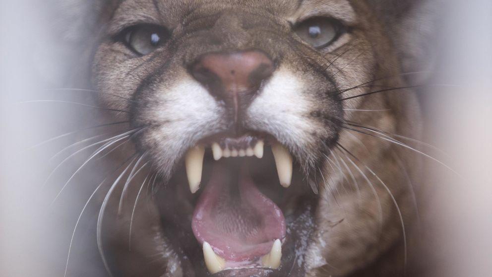 Un hombre sobrevive al ataque de un puma asfixiando al animal hasta matarlo