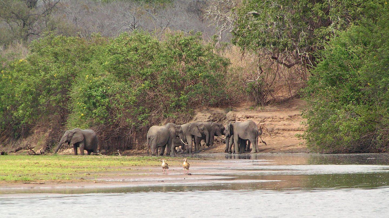Elefantes en la sabana del miombo oriental (Wikipedia)