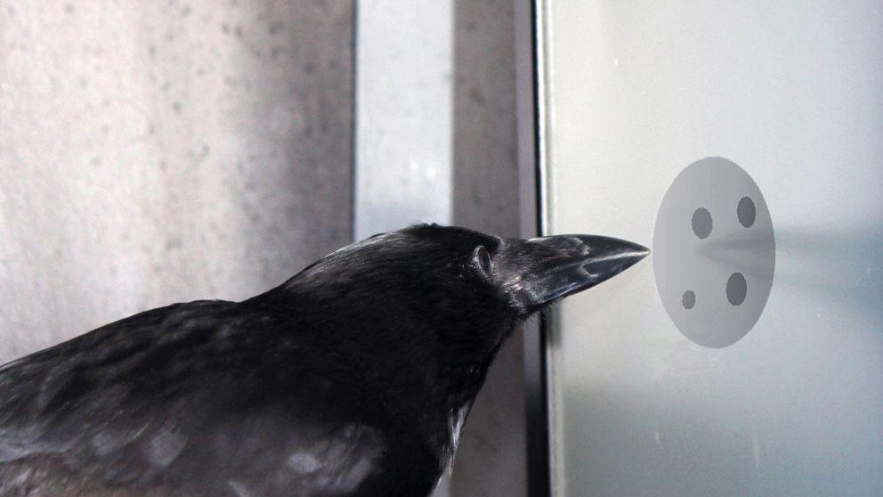Los cuervos poseen neuronas 'matemáticas' como las nuestras