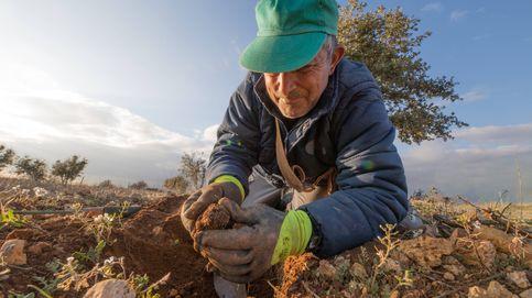 Fiebre de la trufa en Teruel: todos se quieren subir al tren de un negocio millonario