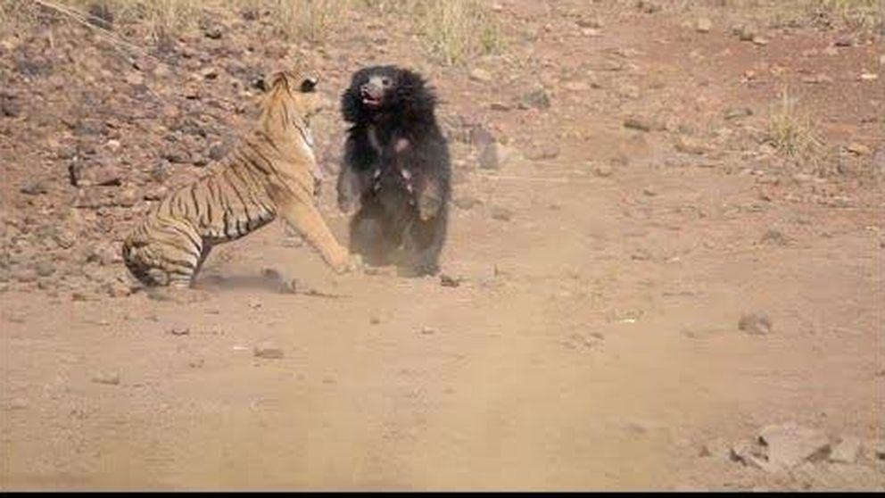 Graban la pelea entre un oso y un tigre en un safari