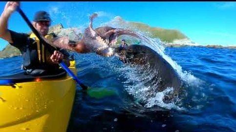 El vídeo viral de una foca golpeando a un piragüista con un pulpo