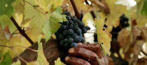 Alertan de que el cambio climático puede bajar la calidad de los vinos