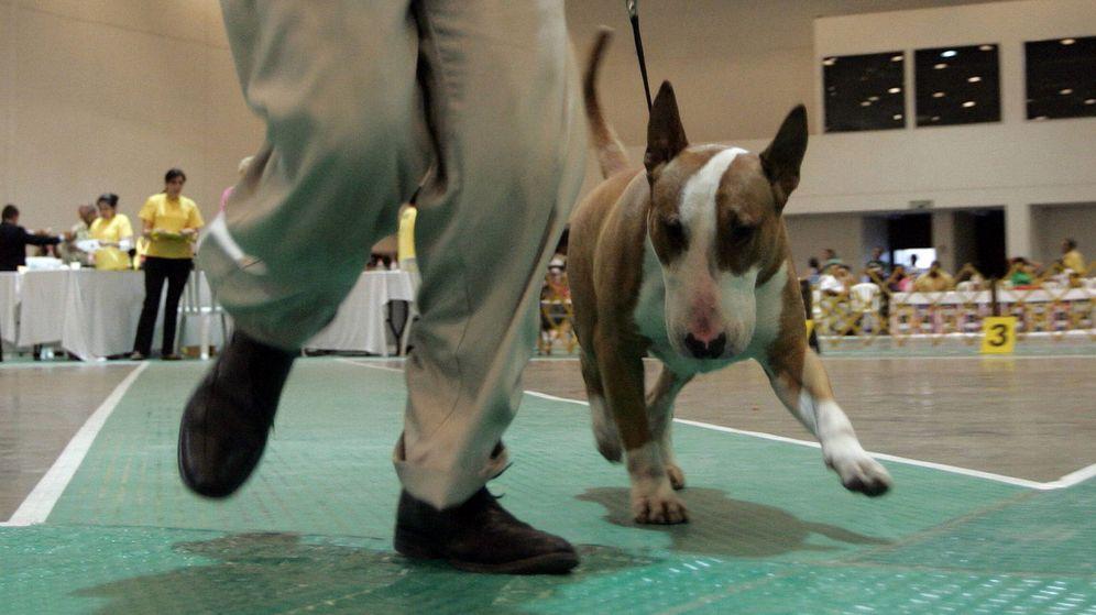 Foto:  Un perro de raza bull terrier inglés. (EFE)