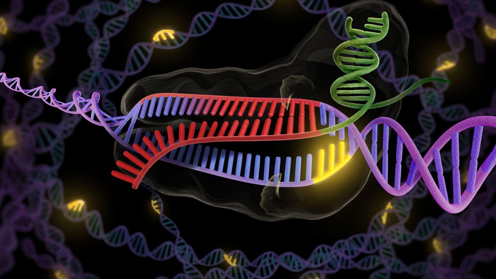 Foto: La enzima CRISPR en verde y rojo se une a una hebra doble de ADN en púrpura y rojo, para así cortar la parte deseada