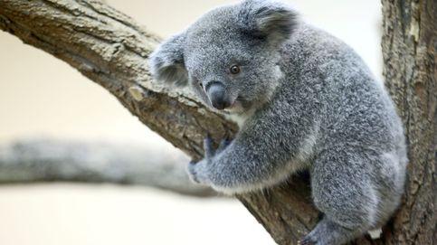 La población de koalas se redujo en un 30% desde 2018