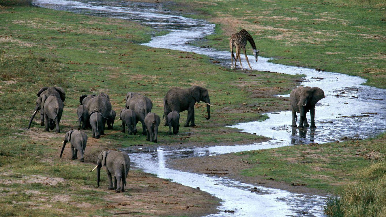 Foto: Una manada de elefantes africanos en el Parque Nacional Tarangire. (Andoni Canela)