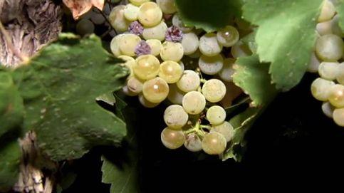 Vendimia nocturna para un vino de máxima calidad
