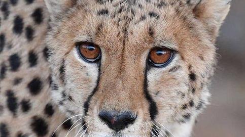 Guepardos como mascotas: la moda de los ultrarricos que los está extinguiendo