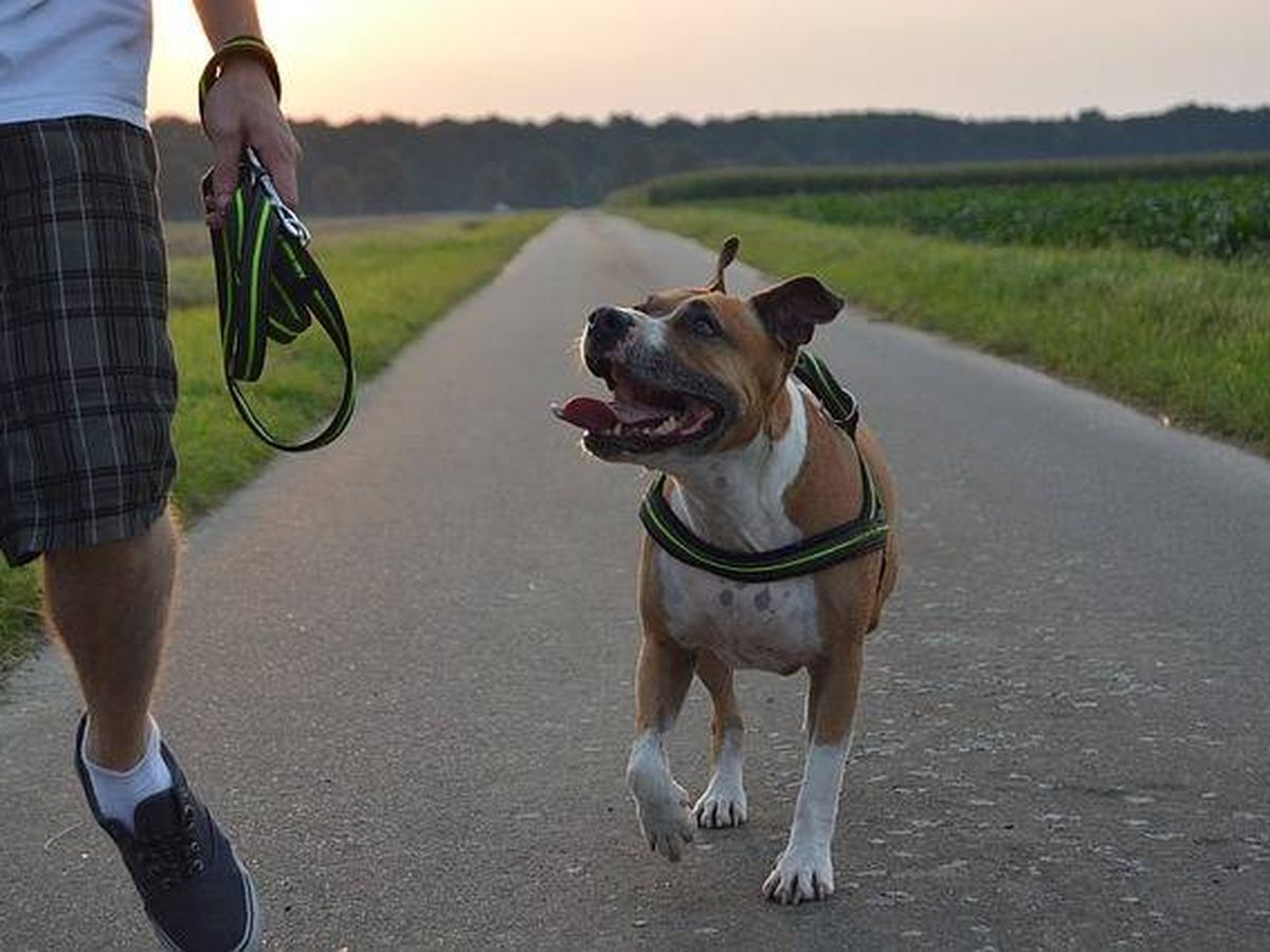Foto: Un perro de raza pitbull, junto a su dueño (Pixabay)