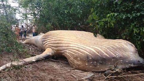 Misterio en Brasil: encuentran una ballena jorobada en pleno Amazonas