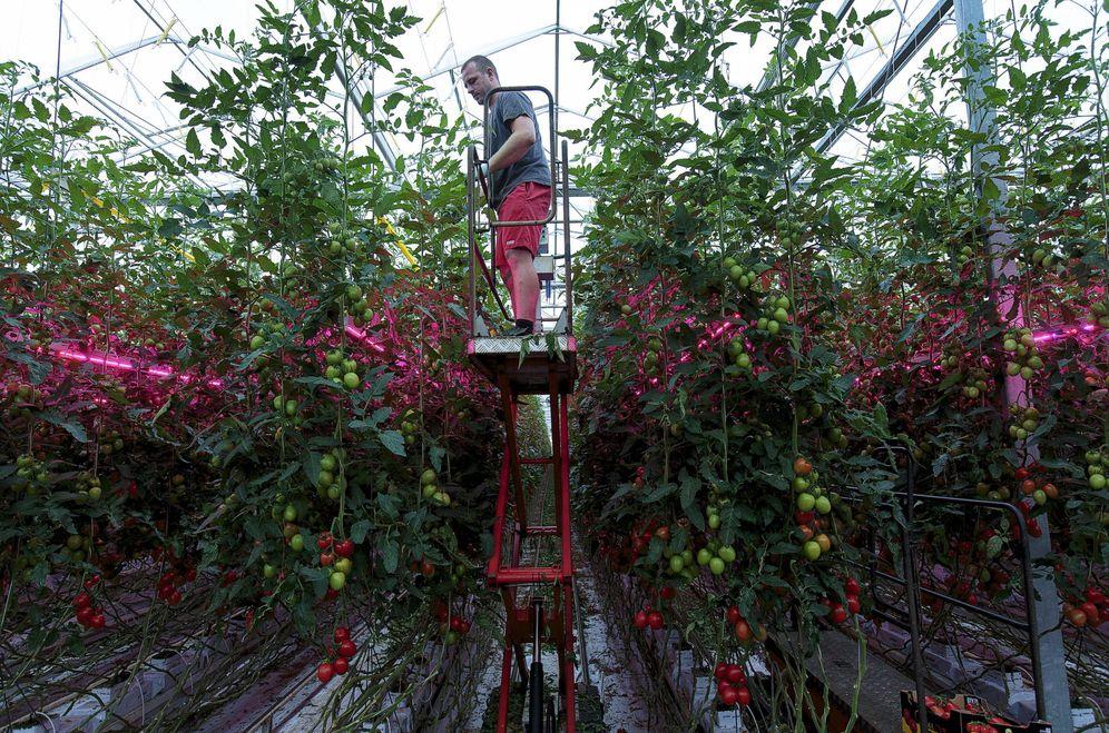 Foto: Un hombre recoge tomates en Someren, cerca de Eindhoven. (Reuters)