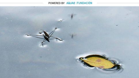 Este insecto sí puede caminar sobre el agua