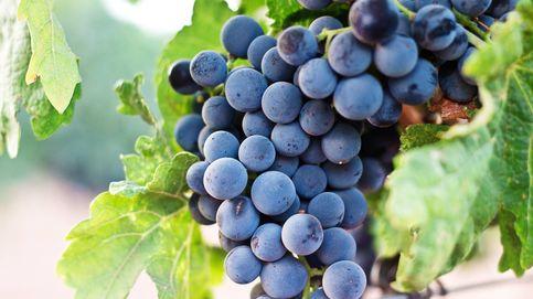 El resveratrol, el famoso polifenol que solo encontrarás en las uvas