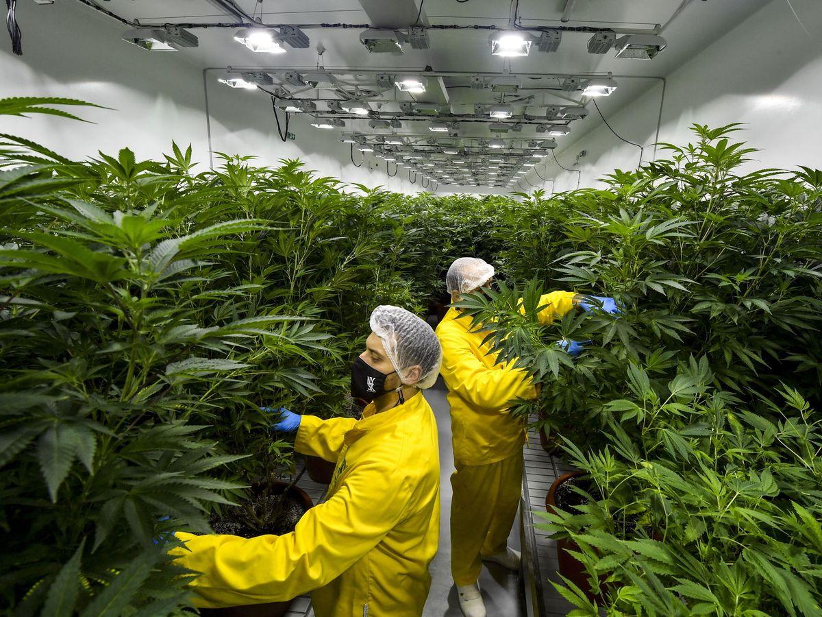 Foto: Plantación de cannabis medicinal en Macedonia del Norte. (EFE)