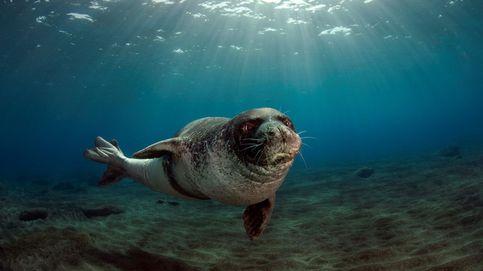 La nueva especie de enorme foca monje extinta hace 3M de años y ahora descubierta