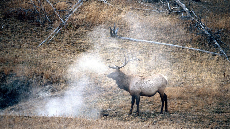 Un uapití entre las fumarolas de los géiseres. (Andoni Canela)