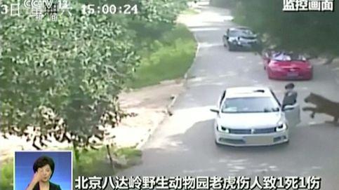 Vídeo: un tigre mata a una mujer y deja a otra en estado grave en Pekín