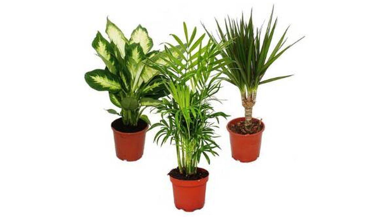 Plantas de interior Decoalive pack de 3: Dieffenbachia, Chamaedorea y Dracaena