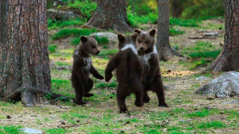 Un fotógrafo aficionado 'caza' a tres ositos bailando de pie en medio del bosque